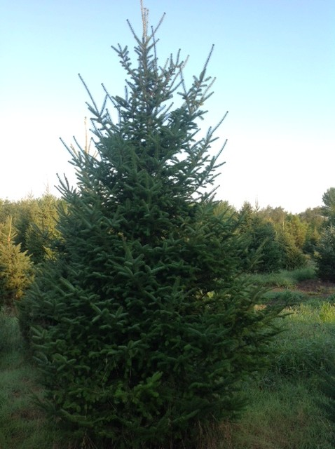 Minnesota Christmas Tree Farms